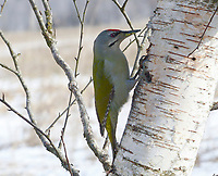 Grauspecht, Männchen, Grau-Specht, Erdspecht, Erdspechte, Picus canus, grey-headed woodpecker, grey-faced woodpecker, male, Le Pic cendré