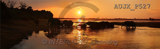 Dr. Xiong, LANDSCAPES, panoramic, photos, Elephants, Sunset crossing, Chobe NP, Botswana(AUJXP527,#L#)