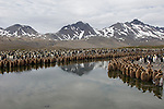King penguin colony lines a river in Fortuna Bay, South Georgia.
