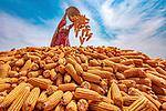 Corn harvesting by Abdul Momin