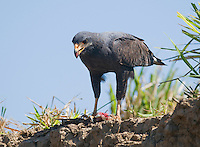 Common black hawk, Buteogallus anthracinus, standing over its prey, a large lizard. Tarcoles River, Costa Rica