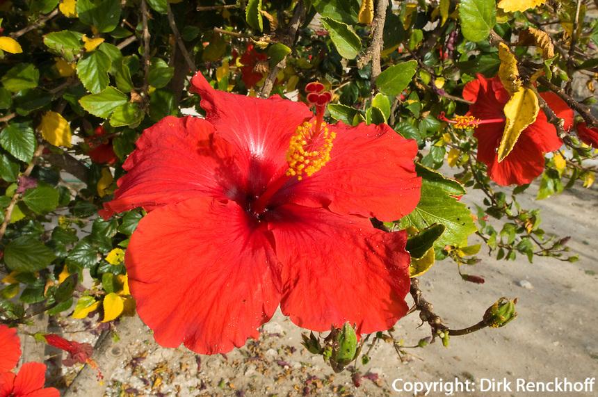 Zypern (Süd), Hibiskus-Blüte bei der Burg von Kolossi, Nahe Limassol (Lemesos)