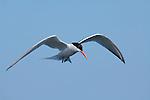 Elegant Tern in Flight, Close Portrait, Bolsa Chica Wildlife Refuge, Southern California