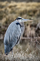 A Great Blue Heron stands near a diversion channel at New Mexico's Bosque del Apache National Wildlife Refuge.