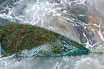 Rockweed In Net