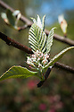 Tibetan whitebeam (Sorbus tibetica), late April.