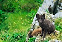 Arctic fox, St. Paul, Pribilof Island, Alaska