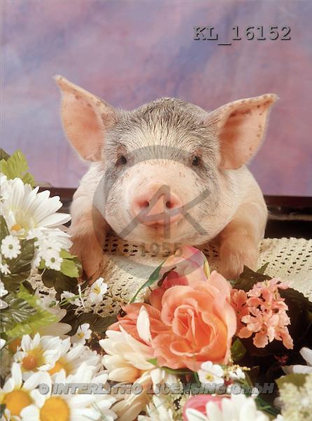 Interlitho, ANIMALS, pigs, photos, pig(KL16152,#A#) Schweine, cerdos