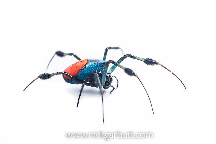 Red and Blue Long-jawed Orb Weaver Spider (Opadometa sp.). Montane mossy heath forest or 'kerangas', southern plateau, Maliau Basin, Sabah's 'Lost World', Borneo.