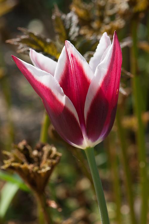 Tulip 'Rajka' (Triumph Group), late April.