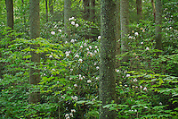 Rosebay rhododendron (Rhododendron maximum) in summer forest, Unaka Mountains