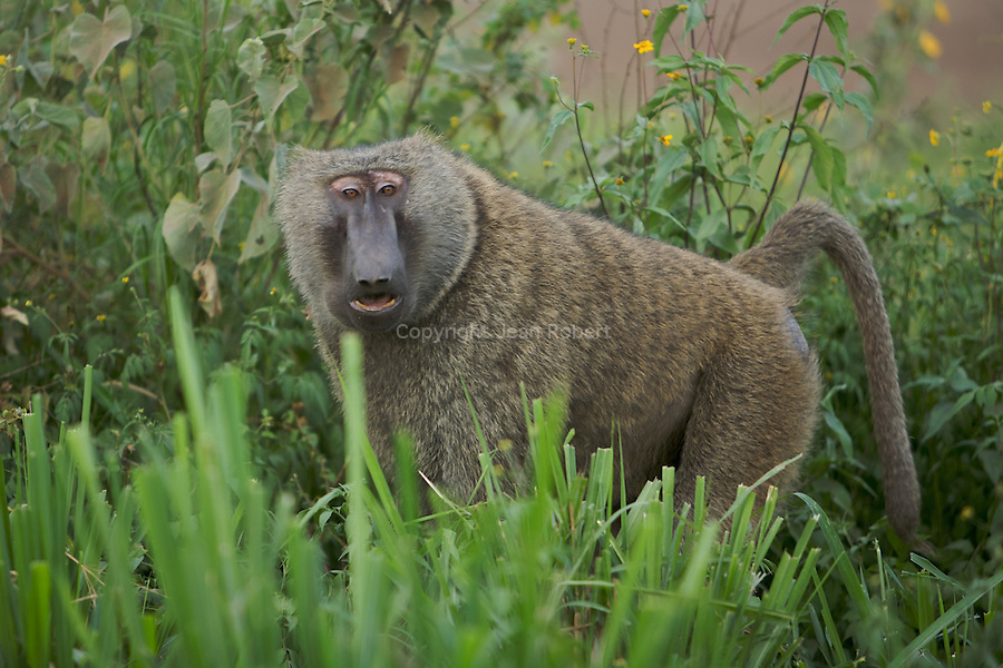 babouin olive (Papio anubis), ou babouin anubis ou doguera