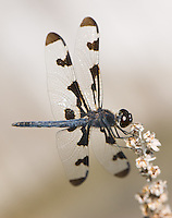 Banded Pennant (Celithemis fasciata) - Dragonfly - Male, Cranberry Lake Preserve, Westchester County, New York