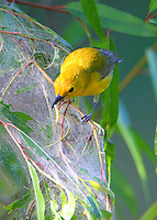 Adult male prothonotary warbler eating webworms