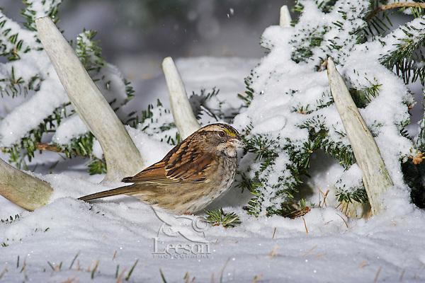 White-throated Sparrow, tan-striped phase (Zonotrichia albicollis) in snow admid old white-tailed deer antlers, winter, Nova Scotia, Canada.