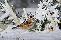 White-throated Sparrow, tan-striped phase (Zonotrichia albicollis) in snow admid old white-tailed deer antlers, winter, Nova Scotia, Canada.