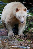 """Kermode """"Spirit"""" Bear standing on a rock in a river"""