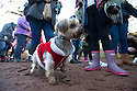 """18/12/16<br /> <br /> Yorkshire Terrier, Billy.<br /> <br /> Close to 800 dogs, many of them dressed up in festive garb, have visited their very own Santa Paws in a special dog-only Christmas grotto held in Sherwood Forest in Nottinghamshire this weekend.<br /> The two-day event, which was organised by park rangers working for Nottinghamshire County Council, has been running for three years.<br /> Ranger Graeme Turner, who originally came up with the idea for a doggy-themed Santa's Grotto said this year has been the best so far.<br /> """"The queue is huge, it snakes back all the way round the visitor's centre,"""" he said. """"All the dogs are being very well behaved, I guess they don't want to get onto Santa Paw's naughty list this close to Christmas!""""<br /> All canine visitors to the grotto got a special doggy bag full of treats and money raised from the event will go to Jerry Green Dog Rescue charity.<br /> <br /> All Rights Reserved F Stop Press Ltd. (0)1773 550665   www.fstoppress.com"""