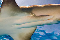lemon shark male, showing claspers. Negaprion brevirostris, Grand Bahama, Bahamas, Caribbean Sea, Atlantic Ocean