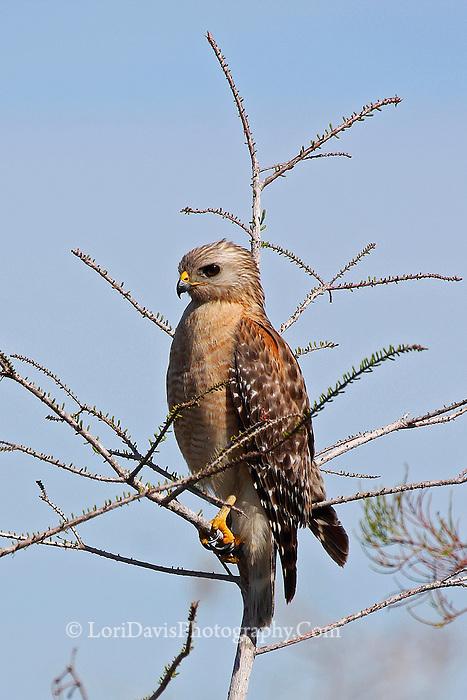 #B56 Red-Shouldered Hawk