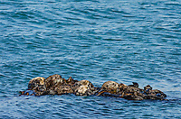 "Southern Sea Otters (Enhydra lutris nereis) wrapped in kelp.  Central California Coast.  Being wrapped in kelp helps keep the otter from drifting away with the tide/current/wind while resting.  A resting group of sea otters is called a ""raft."""