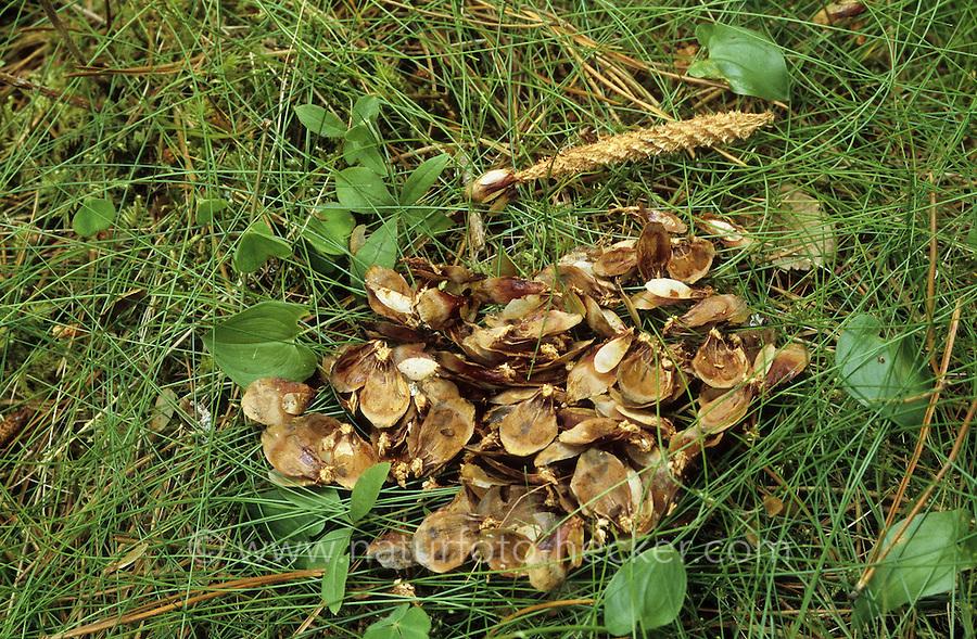 Eichhörnchen hat Fichtenzapfen abgenagt und die Samen gefressen, typische Fraßspur, Frass-Spur, Sciurus vulgaris, Red squirrel, Écureuil d´Europe