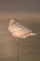 Marbled Godwit (Limosa fedoa) sleeping while standing on one leg