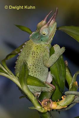 CH35-553z  Male Jackson's Chameleon or Three-horned Chameleon, close-up of face, eyes and three horns, Chamaeleo jacksonii