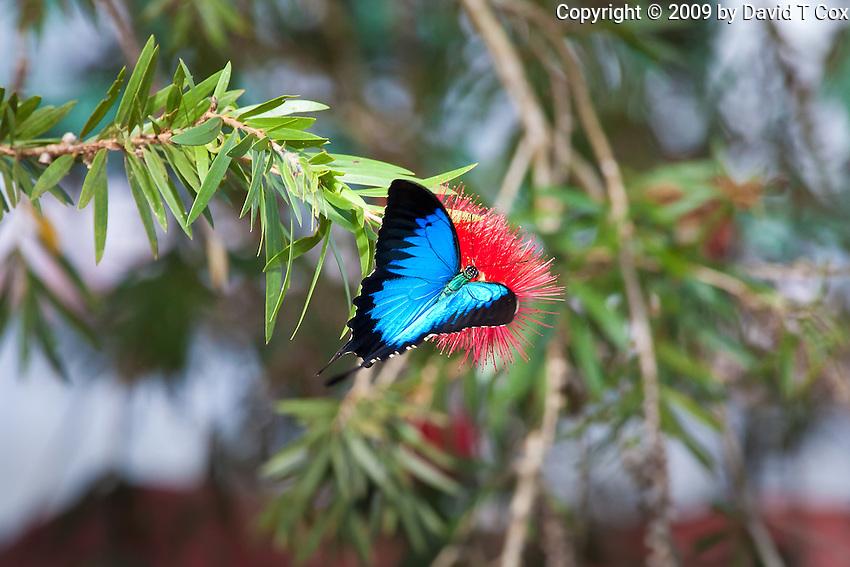 Ulysis Butterfly, Daintree River, Queensland, Australia