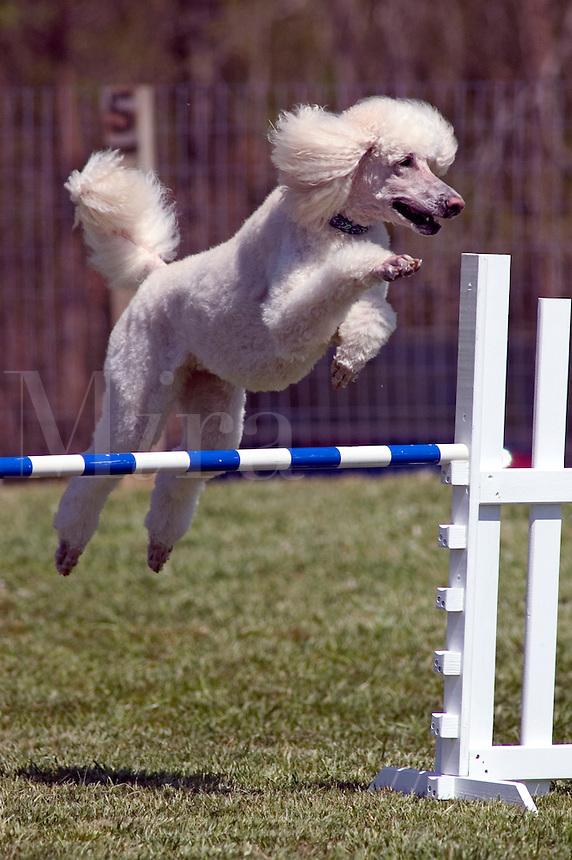 Standard Poodle (PR) jumping during an agility competition in Charlotte, N