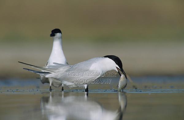 Gull-billed Tern, Sterna nilotica, pair with fish courtship, Welder Wildlife Refuge, Sinton, Texas, USA