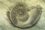 Photographic engraving of the inside of a nautilus shell