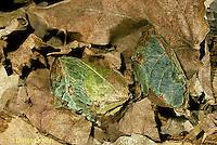 LE14-068x   Luna Moth - cocoon on forest floor - Actias luna