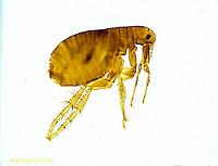 SG01-021x   Human Flea - Pulex irritans.