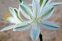 Desert Lily (Herperocallis undulata). Anza Borrego Desert State Park, California