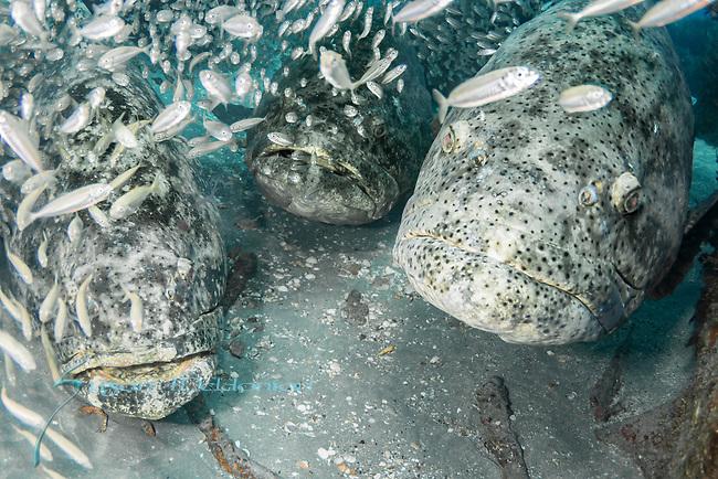 Atlantic goliath grouper in bait fish, endangered species, Epinephelus itajara, Goliath Groupers and bait balls, itajara, IUCN Red List vulnerable, jewfish, sardines, spawning event, MG111, Jupiter, FL