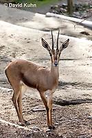 0527-1102  Cuvier's Gazelle (Edmi), Gazella cuvieri  © David Kuhn/Dwight Kuhn Photography