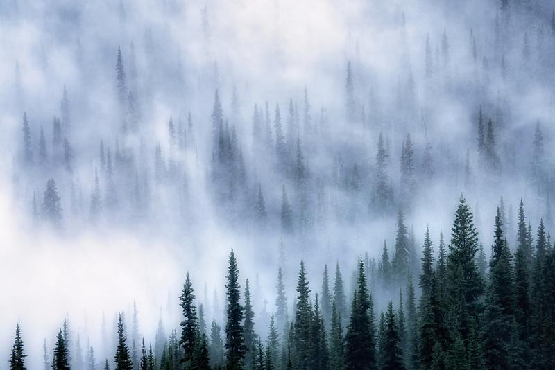 Fog in trees. Sunrise side. Mt. Rainier National Park, Washington