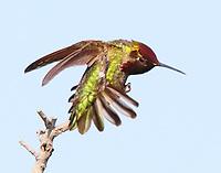 Adult male Anna's hummingbird