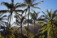 A group of palms trees grow in Iao Valley, Maui.