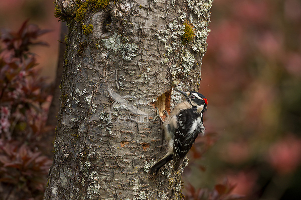 Male Downy Woodpecker (Dryobates pubescens) excavating nest cavity (see all the small wood chips covering his breast).  Pacific Northwest.  April.