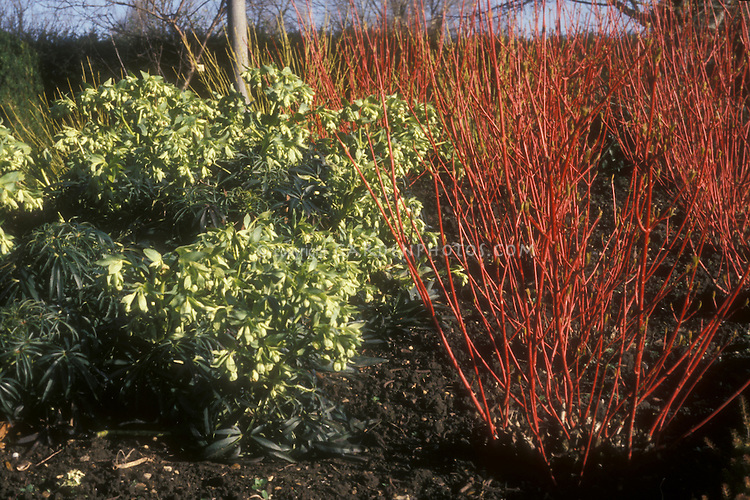 Cornus alba Sibirica (Siberian dogwood winter interest red stems) & Helleborus foetidus in flower in winter. GR1406