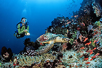 scuba diver observes a hawksbill turtle, Eretmochelys imbricata, Bali, Indian Ocean, Indonesia