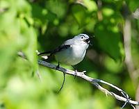 Adult blue-gray gnatcatcher