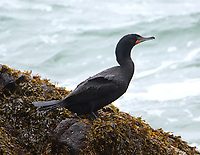 Adult double-crested cormorant in non-breeding plumage