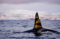 Killer whale, Orcinus orca, Adult male with heavily scarred dorsal fin from nets, Tysfjord, Arctic Norway, North Atlantic