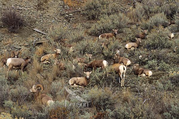 California Bighorn Sheep herd (Ovis canadensis), Western U.S.  Fall.