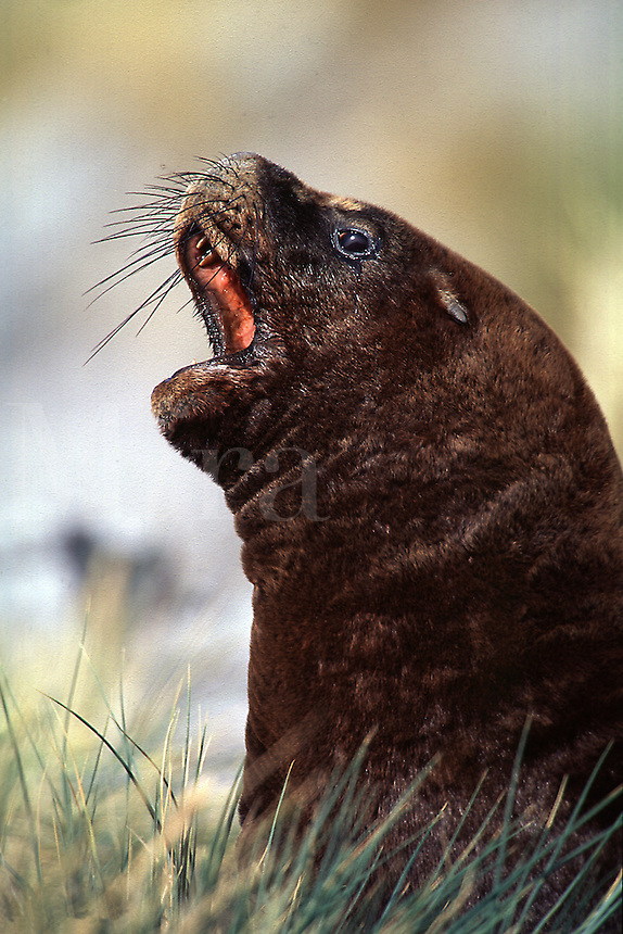 Southern Sea Lion Otaria byronia Islas Malvinas. Sea Lions. Falkland Islands Antarctica.