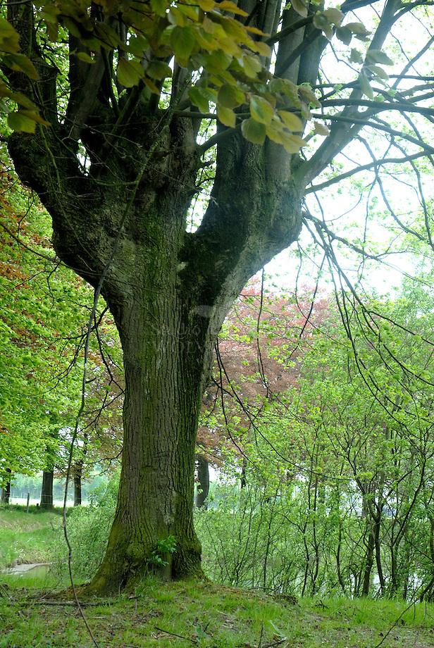 Hollandse linde (Tilia cordatra x platyphylla), Leemkuilen - Brabants Landschap