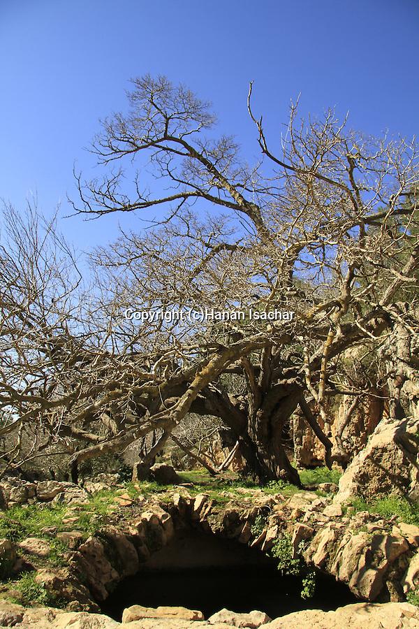 Israel, Jerusalem mountains, Mulberry tree in Ein Nekofa